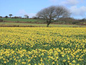 daffodil_fields_5016